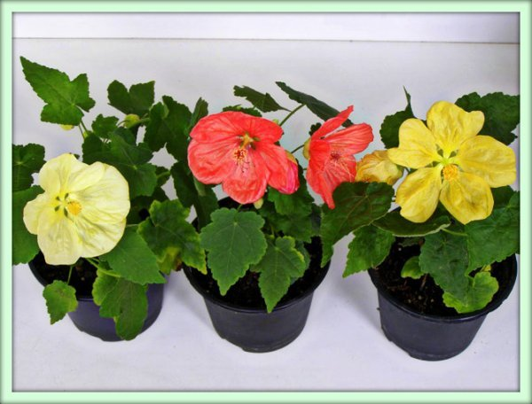 Цветы для дома и дачи ампельные красивоцветущие домашние