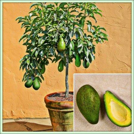 Авокадо в горщику