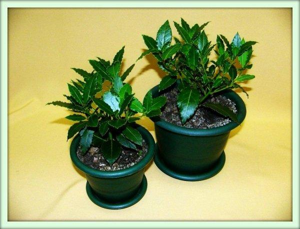 лавр комнатное растение