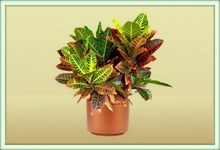 Кротон (Croton)