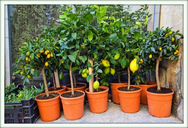 Citrus for Can i grow a lemon tree from lemon seeds