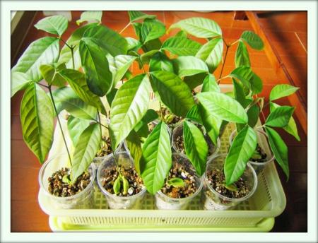 Как выращивать рамбутан в домашних условиях?