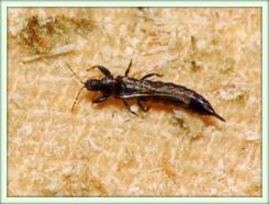 Трипсы (Thysanoptera)