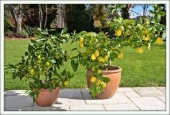 Цитрусовые (Citrus)