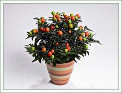 Соланум (Solanum)