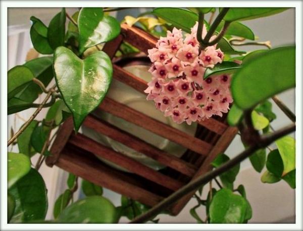 Комнатные цветы фото и названия стапелия